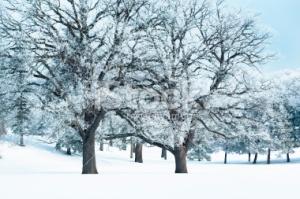 winteroak